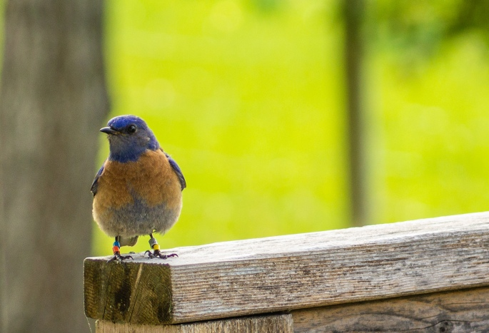 bluebirds, easter 154