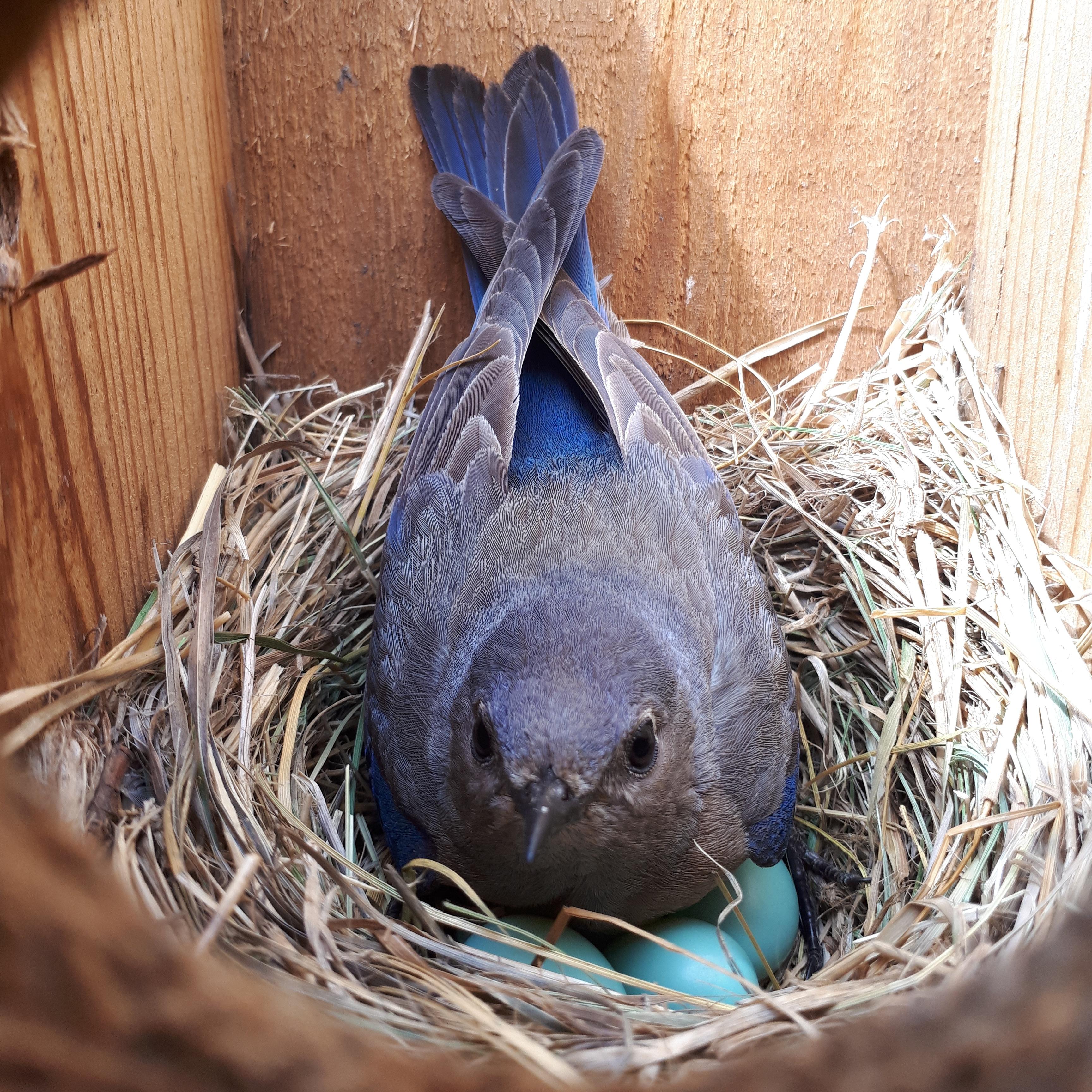 nestingbluebird